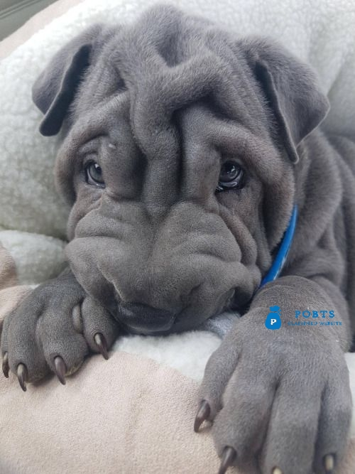 Lovely pure breed Chinese Shar Pei puppies.