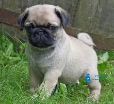 Pug puppies for adoption - Post Free ad POBTS™Classified Buy & Sell