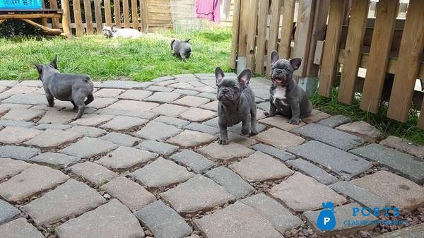 French Bulldog Puppies Available now