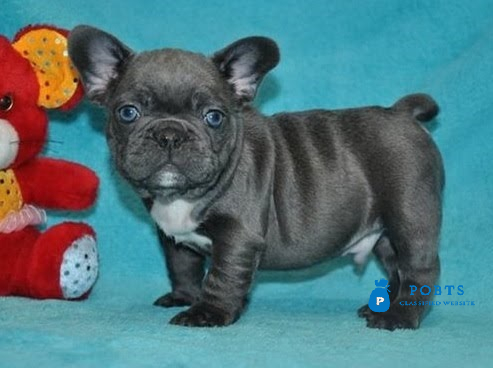 AKC Pure Breed Blue French Bulldog pups Text Us At (217)471-7677