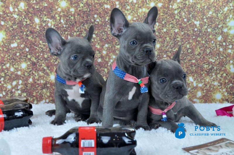 AKC Blue French Bulldog pups Text Us At (217)471-7677