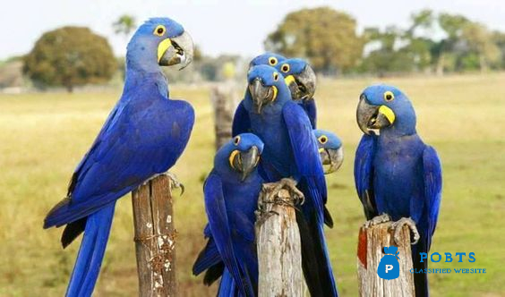 Macaw Parrots For Sale Whatsapp
