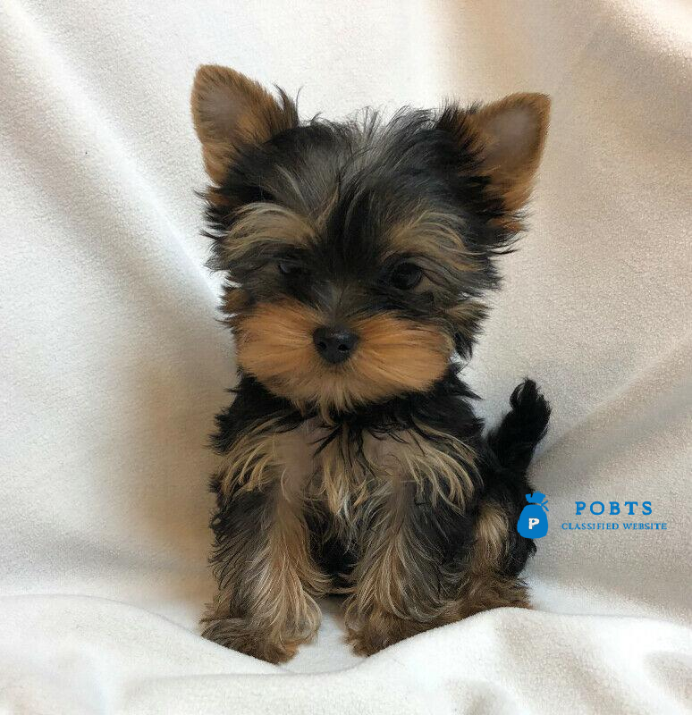 Teacup Yorkie Puppies for sale Text :(551) 888 -3483
