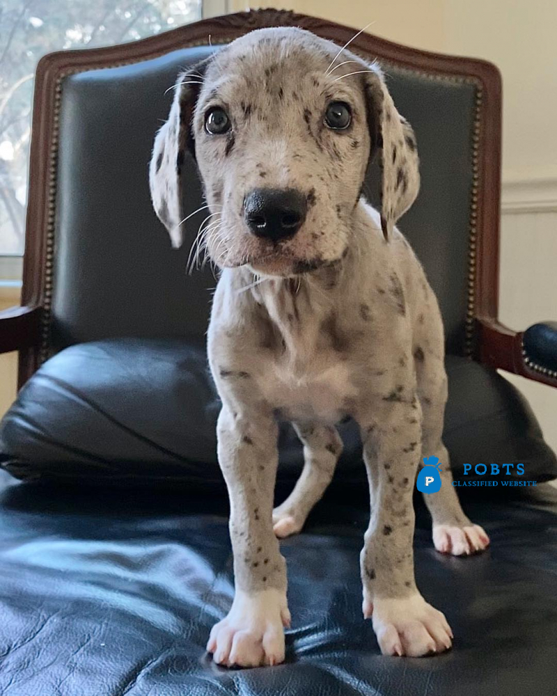 AKC Great Dane Puppies For Adoption