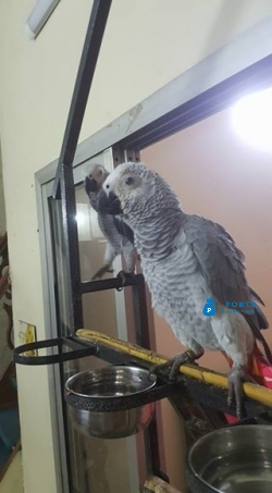 African grey congo silver self feed chick