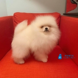 cute pomeranian puppies for free adoption