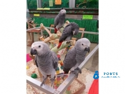 Super Tame Handreared African grey Parrot Babies