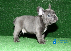 Blue French Bulldog pups Text Us At (217)471-7677