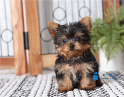 AKC Yorkie  and up-to-date on shots and deworming